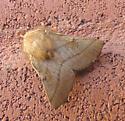 Malacosoma americana - Malacosoma disstria - male