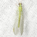 Green Lacewing - Chrysopa incompleta