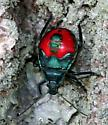 Bug nymph for ID - Euthyrhynchus floridanus