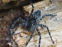 Wolf Spider - Dolomedes tenebrosus