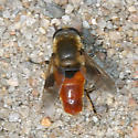 Syrphid Fly - Lejops curvipes - male