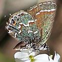 Juniper Hairstreak - Callophrys gryneus