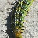 Spiky caterpillar - Nymphalis l-album