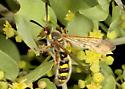 Bee - Crioscolia alcione - male