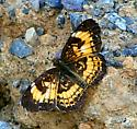 Butterfly from West Virginia - Chlosyne nycteis