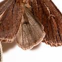 Ufeus satyricus sagittarius - Ufeus satyricus