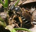 Bee ID Request - Halictus rubicundus - female