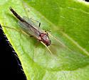 Midge ID - Benthalia - male