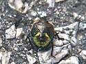 Beetle, I think.  - Chinavia hilaris