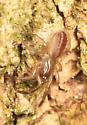 Tube Web Spider? - Ariadna bicolor