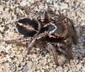 Salticidae  (Eris?) - Habronattus viridipes