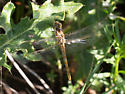 Which dragonfly is this? - Sympetrum corruptum