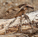 Weevil - Apleurus angularis