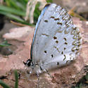 Northern Spring Azure - Celastrina lucia - male