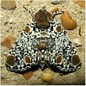 Harrisimemna trisignata - Hodge's #9286 - Harrisimemna trisignata