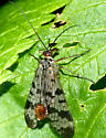 Scorpionfly - Panorpa - male