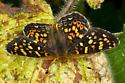 Field Crescent (Phyciodes campestris?) - Phyciodes pulchella - male