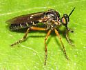 Dioctria? - Taracticus octopunctatus