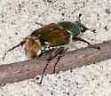 Popillia japonica - Japanese Beetle? - Trichiotinus bibens