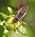 Texas Bug - Dysdercus