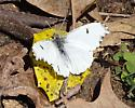 Falcate Orangetip - Anthocharis midea - female