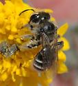 Andrena (Simandrena) ? - Andrena - female
