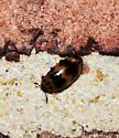 beetle with neat spots - Ischyrus quadripunctatus