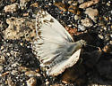 White Butterfly 702A 6411 - Heliopetes ericetorum