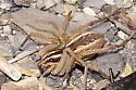 Rabid Wolf Spider Prey of Spider Wasp - Entypus unifasciatus