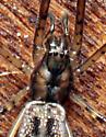 Spider - Tetragnatha