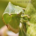 Green Leaf Bug - Stictocephala taurina