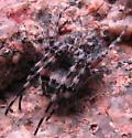 Mountain spider - Aculepeira carbonarioides
