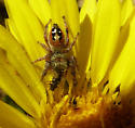 jumping spider with prey, seen on gum plant - Phidippus