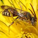 Bee - Nomada