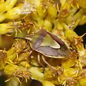 Hemiptera - Antheminia remota