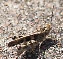 Brown Grasshopper - Trachyrhachys kiowa - male