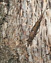 Machilidae, Jumping Bristletail