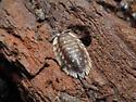 Oniscus asellus - European Sowbug - Oniscus asellus