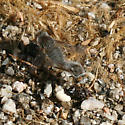 Grey Bee Flies Maiting - Pantarbes - male - female