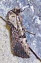 Elaphria exesa  - Elaphria agrotina