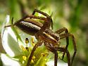 nursery web spider - Dolomedes striatus