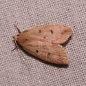 Depressariidae, Gold-striped Leaftier Moth - Machimia tentoriferella