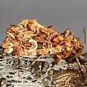 Pink-shaded Fern Moth - Callopistria mollissima