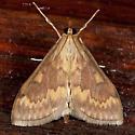 European Corn Borer Moth - Ostrinia nubilalis