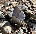 Western Tailed-Blue  ?