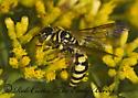 8016837 tiphiid - Myzinum quinquecinctum - female