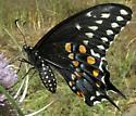 papilionid - Papilio polyxenes - female