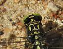 Gomphidae - Hagenius brevistylus - male