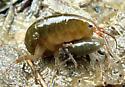 Amphipoda - Orchestia grillus