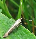 Coleophora trifolii? - Coleophora trifolii